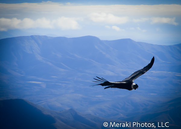 Foto of the Week from … The Top of a Mountain:  Condors Playing